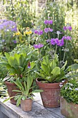 Primula vialii (Orchideen - Primel) Blütezeit Juni - Juli , Primula bullesian