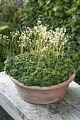Saxifraga paniculata (Rispen-Steinbrech, Trauben-Steinbrech)