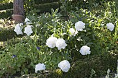 Paeonia lactiflora 'Shirley Temple' (Edel - Pfingstrose)