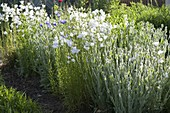 Weisses Beet mit Campanula persicifolia 'Alba' (Pfirsichblättriger