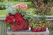 Rote Flechtkoerbe bepflanzt mit Dahlia (Dahlie), Petunia 'Deep Red' (Petunie