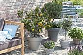 Lounge-Ecke auf Kiesterrasse : Citrus myrtifolia 'Chinotto' (Bitterorange), Ol