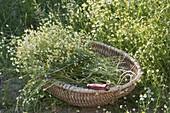 Frisch geerntete Kamille (Matricaria chamomilla) im Korb am Wiesenrand