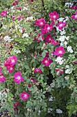 Rosa gallica 'Scharlachglut' und R. multiflora (Rosen) wachsen ineinander