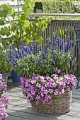 Korb mit Salvia farinacea 'Midnight Candle' (Mehlsalbei) und Petunia 'Picasso
