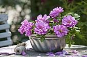 Blüten von Rosa rugosa 'Hansa' (Wildrosen-Hybride) in Guglhupfform