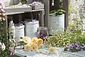 Blüten für Tee zum Trocknen vorbereiten : Kamille (Matricaria chamomilla)