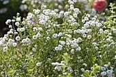 Achillea ptarmica 'Gypsy White' (Sumpfgarbe, Bertramsgarbe)