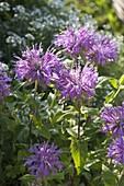 Monarda fistulosa var. menthifolia 'Pummel' (Indianernessel)