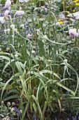 Knoblauch (Allium sativum) mit Rosen
