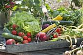 Blechkorb mit frisch geernteten Gemüsen : Tomaten (Lycopersicon)