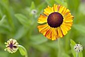Helenium Hybride 'Waltraut' (Sonnenbraut)