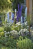 Delphinium Magic Fountain 'Dark Blue' 'Sky Blue' (Rittersporn), Leucanthemum