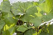 Tussilago farfara (Huflattich)