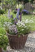Weidenkorb bepflanzt mit Stauden : Lupinus (Lupinen), Veronica spicata