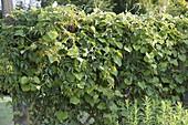 Sichtschutz - Zaun berankt mit Aristolochia (Pfeifenwinde) und Parthenocissus