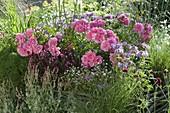 Rosa 'Magic Meidiland' (Rose), Gaura 'Lillipop Pink' (Prachtkerze), Monarda