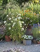 Topfgruppe auf Kiesterrasse : Daucus carota (blühende Möhre), Calendula