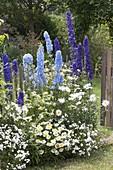 Delphinium Magic Fountain 'Dark Blue' 'Sky Blue' (Rittersporn)
