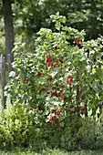 Rote Johannisbeere 'Rolan' (Ribes rubrum) am Zaun