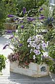Holzkasten mit Buddleja Buzz 'Violet' (Sommerflieder), Lavatera trimestris