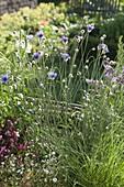 Catananche caerulea (Blaue Rasselblume)