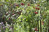 Sauerkirsche (Prunus cerasus) im Beet