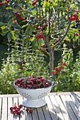 Sauerkirsche (Prunus cerasus) im Beet, Sieb mit frisch gepflueckten Früchten