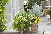 Weiss - gelb bepflanzter Holzkasten : Scaevola 'Early Compact White'