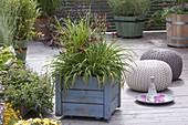Fahrbarer Holzkasten mit Hemercallis 'Little Fellow' (Taglilien)