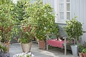 Balkon mit roten Johannisbeeren