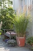Stipa calamagrostis syn. Achnatherum calamagrostis (Silberhaariges Rauhgras