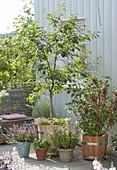 Balkon mit Obst und Kräutern : Sauerkirsche (Prunus cerasus)