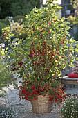 Rote Johannisbeeren 'Rolan' (Ribes rubrum) unterpflanzt mit Calibrachoa