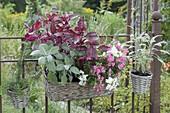 Körbe am rostigen Gartenzaun : Iresine herbstii (Blutblatt), Salbei