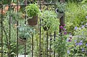 Körbe mit Kräutern am rostigen Gartenzaun : Salbei 'Berggarten' 'Icterina'