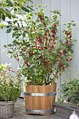 Rote Johannisbeere 'Jonkheer van Tets' (Ribes rubrum) im Holzkuebel