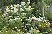 Hydrangea paniculata 'Limelight' mit weissen Dahlien