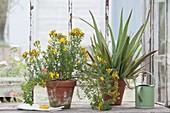 Hypericum perforatum (Johanniskraut) und Aloe vera in Tontoepfen am Fenster