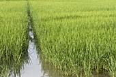 Reisfeld im Piemont - Italien, seit dem 15. Jahrhundert wird in Italien Reis