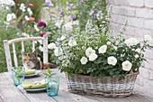 weiße Rosa (Rosen) und Calamintha nepeta 'Triumphator' (Steinquendel,
