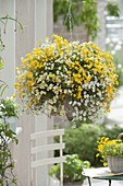Weiss - gelbe Ampel : Nemesia Sunsatia 'Little Banana' 'Little Coco'