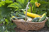 Basket with freshly harvested zucchini and onions