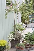 Stachelbeere 'Rokula' (Ribes uva-crispa) , Staemmchen, Reifezeit Juli