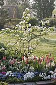 Blühende Quitte (Cydonia oblonga) unterpflanzt mit Tulipa (Tulpen), Iberis