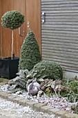 Winterliches Beet mit Rauhreif : Buxus (Buchs) , Staemmchen, Kegel