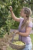 Frau pflückt Lindenblueten (Tilia) zum trocknen für Tee