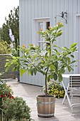 Selbstgezogenes Avocado - Bäumchen (Persea americana) in Holz-Kübel