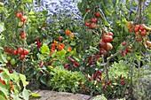 Gemüsebeet mit Tomaten (Lycopersicon), Peperoni , Snack-Paprika