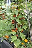 Äthiopische Eierfrucht 'Red China' (Solanum aethiopicum)